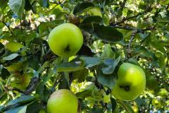 Kajalund-epler